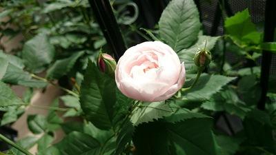 オールドローズのマダムピエールオジェ開花